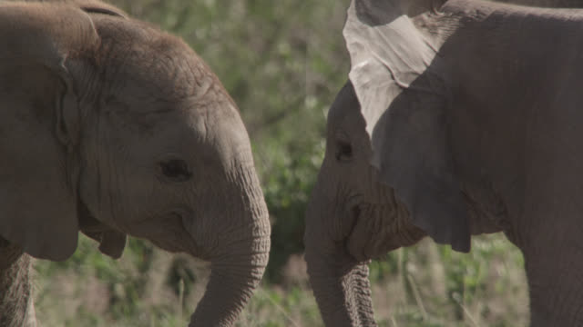 Baby African elephants (Loxodonta africana) nuzzle and play fight, Kenya
