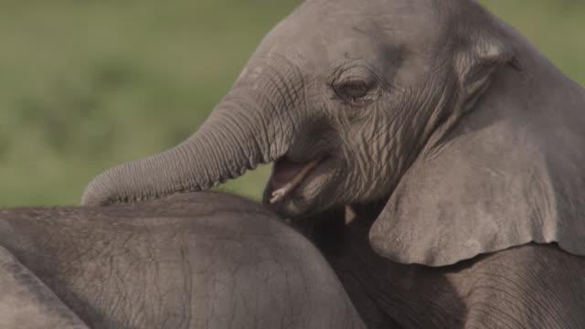 Baby African elephants (Loxodonta africana) play on savannah, Kenya