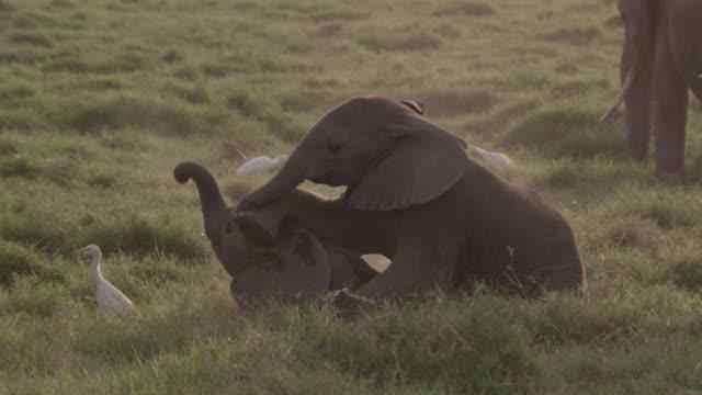 Baby African elephants (Loxodonta africana) playfight on savannah, Kenya