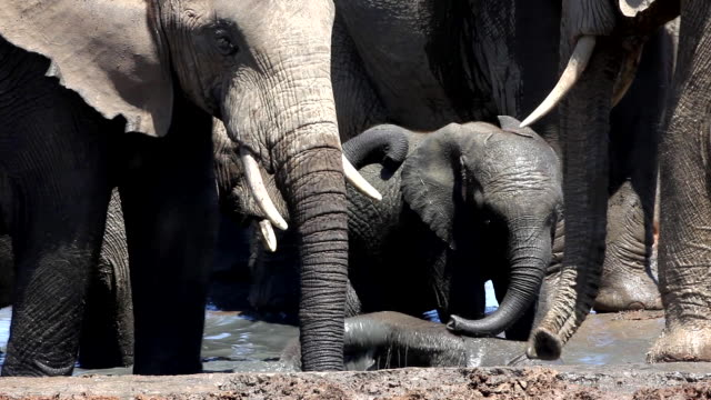 Baby African elephants (Loxodonta africana) playing in waterhole, Addo Elephant National Park, Southern Cape, South Africa