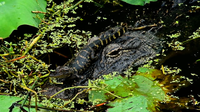 baby alligator resting on mom's head as tiny fish swim over her back scales - alligator stock videos & royalty-free footage