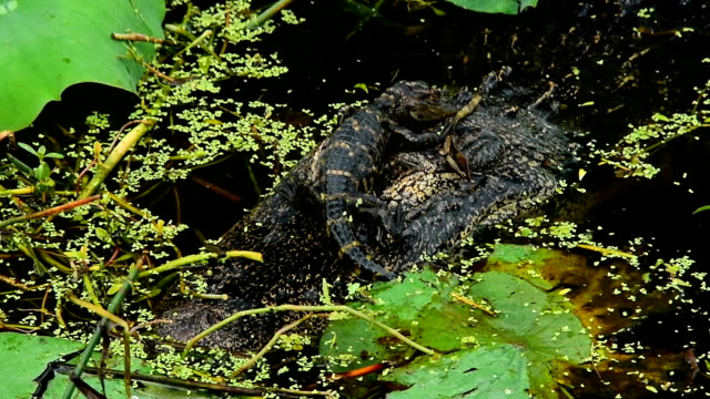baby alligator's climbs on mom's head and pokes her in the eye - toccare con un dito video stock e b–roll