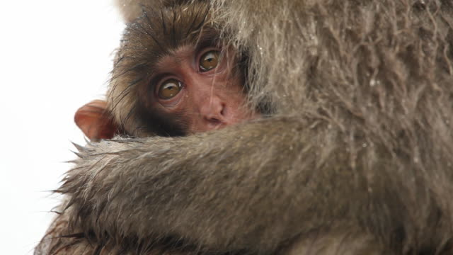 baby und mutter snow monkeys - umarmen stock-videos und b-roll-filmmaterial