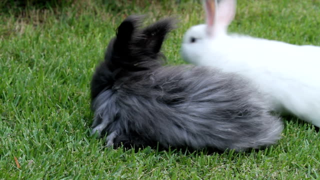 baby angora rabbits eating and playing - group of animals stock videos & royalty-free footage