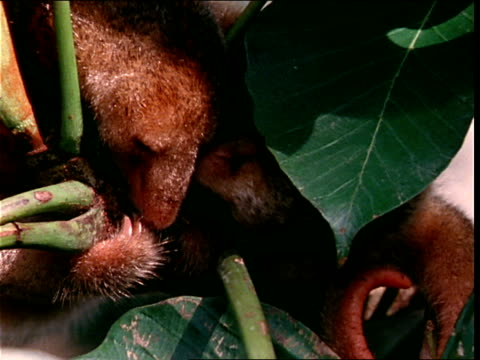 vidéos et rushes de a baby anteater preens the face of its mother in the brazilian amazon. - se lisser les plumes