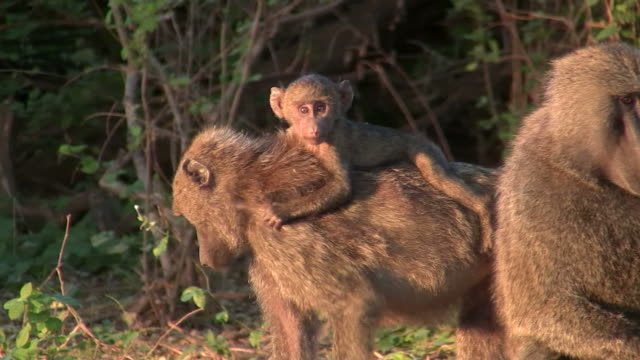 baby baboon - pavian_baby3 - young animal stock videos & royalty-free footage