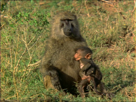 baby baboon walks to mother baboon in grass + starts nursing + scratching / africa - cinematography stock videos & royalty-free footage
