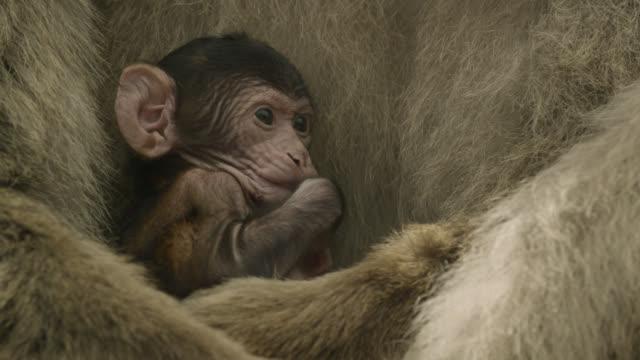 baby barbary macaque (macaca sylvanus) sucks thumb, gibraltar - macaque stock videos & royalty-free footage