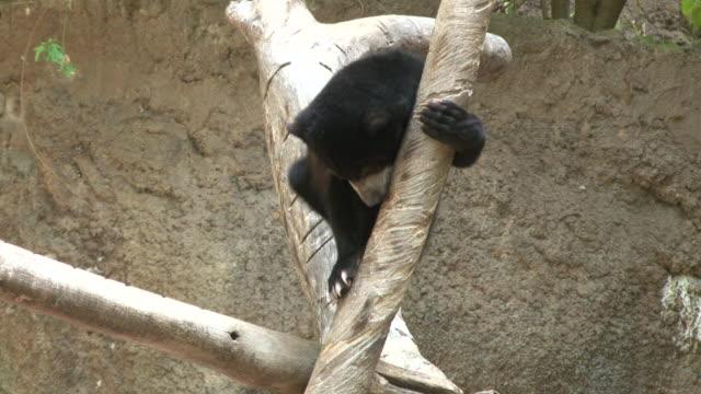 baby bear - bear cub stock videos and b-roll footage
