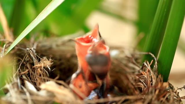 baby bird hungry - bird's nest stock videos & royalty-free footage