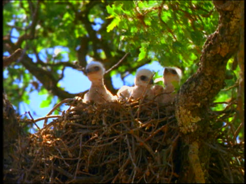 3 baby birds (hawks) sitting in nest in tree