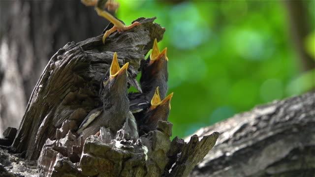 vidéos et rushes de les bébés oiseaux attendent que leur mère se nourrisse. - nid