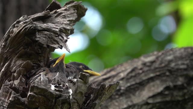 vidéos et rushes de les bébés oiseaux attendent que leur mère se nourrisse. - nid d'oiseau