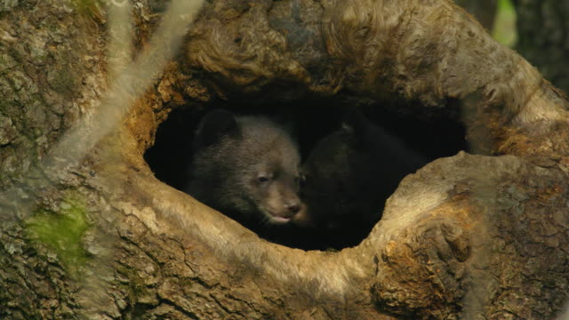 baby black asian bears playing inside tree cave in jirisan(second tallest mountain in korea) gyeongsangnam-do, south korea - loch stock-videos und b-roll-filmmaterial