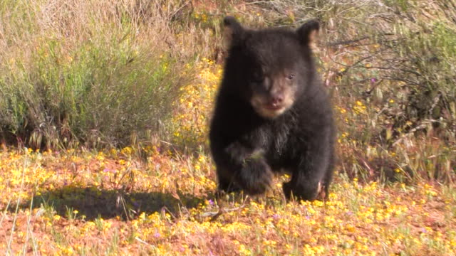MS TS ZO Baby Black Bear (Ursus americanus) runs toward camera, stumbles, gets up, and then runs again. /Utah, USA