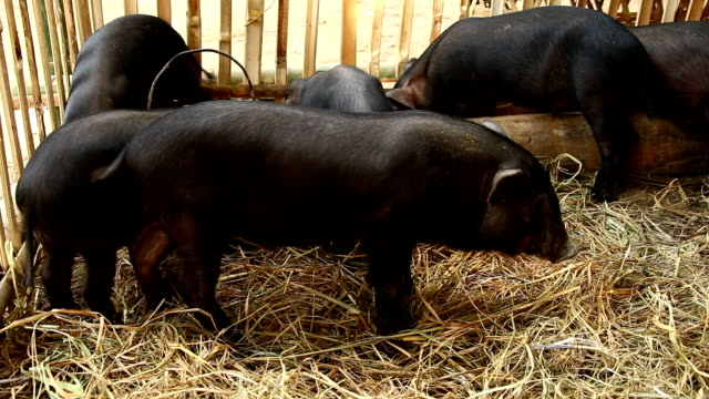 Baby black pigs in farm