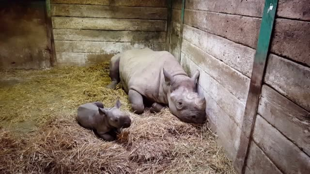 A baby black rhino has been born at the Port Lympne animal reserve in Kent