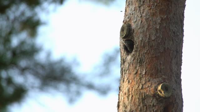 vidéos et rushes de baby bluebird putting its head out the nest in uljin geumgang pine forest / uljin-gun, gyeongsangbuk-do, south korea - nid