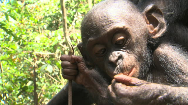 baby bonobo eating fruits in tropical jungle, congo basin, africa - chimpanzee stock videos & royalty-free footage