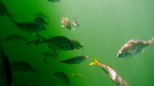 baby bream at pittwater - fish stock videos & royalty-free footage