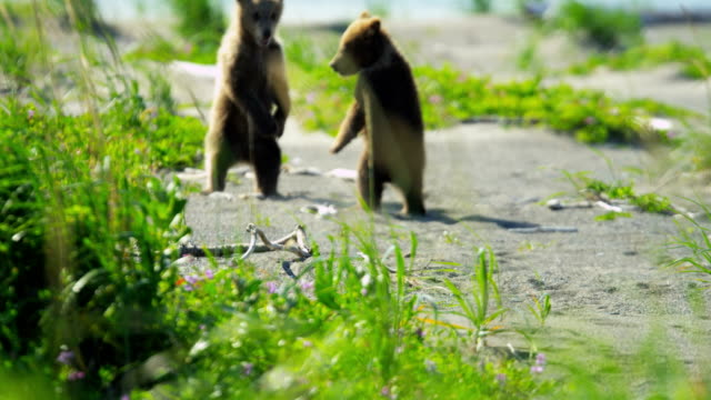 baby brown bear cubs playing national park alaska - north america stock videos & royalty-free footage