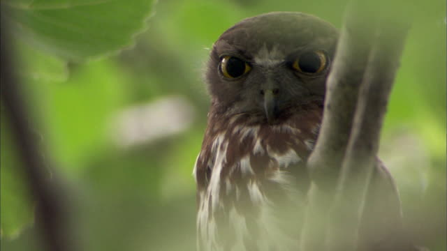 baby brown hawk-owl looks to camera - brown stock videos & royalty-free footage