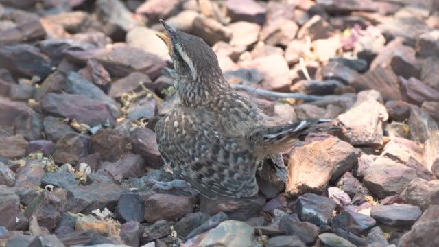 baby cactus wren o the ground - cactus wren stock videos & royalty-free footage