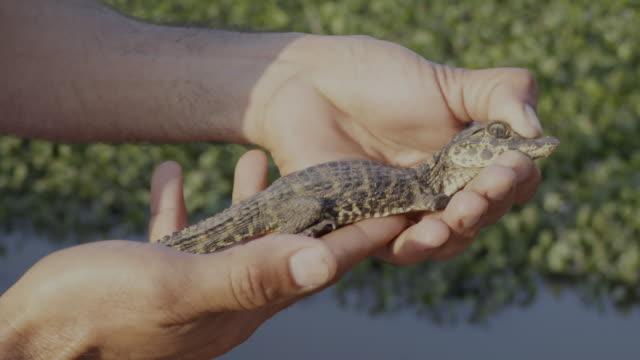 vidéos et rushes de baby caiman in pantanal - amérique du sud
