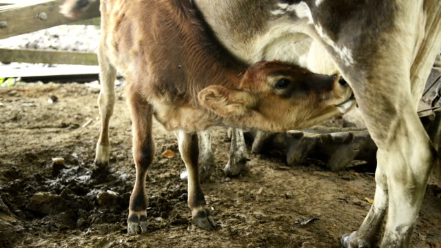 Baby Calf Drinking Milk From Mother Cow's Udder