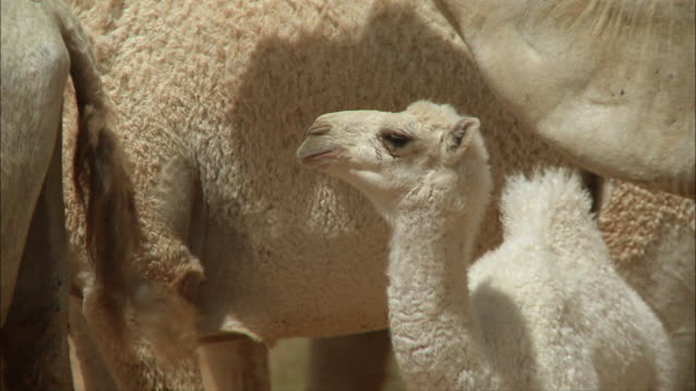 baby camel close up - small group of animals stock videos & royalty-free footage