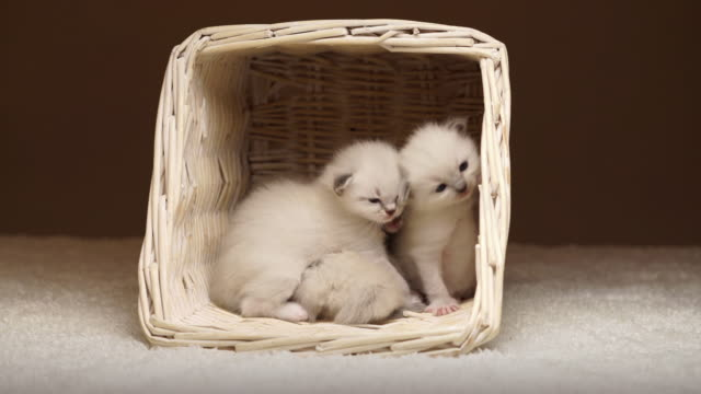 baby cats awaking in basket