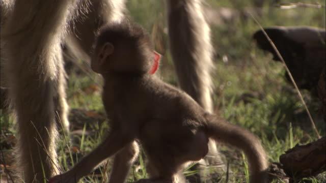 vídeos y material grabado en eventos de stock de baby chacma baboon clambers onto mother, okavango delta, botswana - grupo pequeño de animales