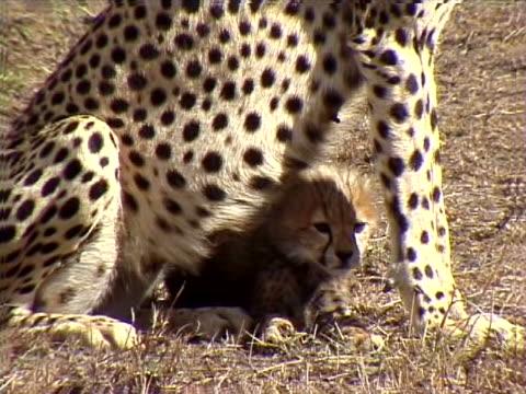 vídeos de stock, filmes e b-roll de baby cheetah with its mother - defendendo