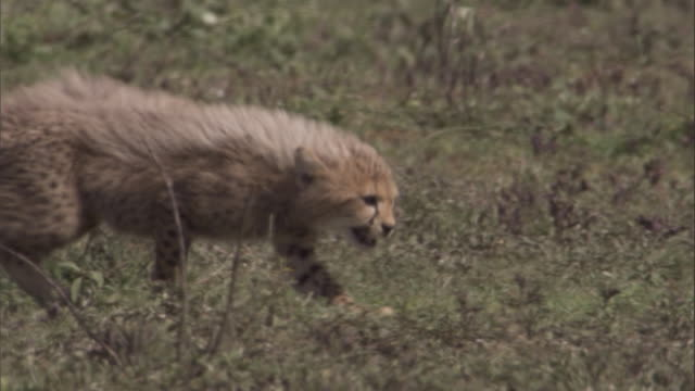 baby cheetahs slink across savannah. available in hd. - young animal stock videos & royalty-free footage