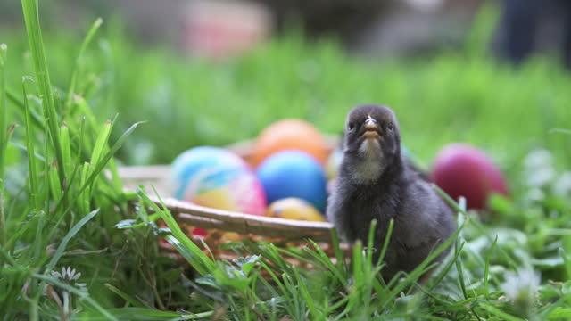 baby chick och påskägg. - påsk bildbanksvideor och videomaterial från bakom kulisserna