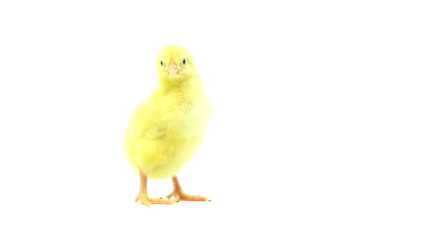 Baby-chick