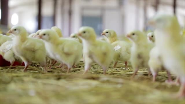 ヒヨコの農場の飲料水 - 家畜点の映像素材/bロール