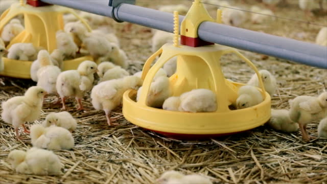 vídeos de stock e filmes b-roll de pinto na exploração - gado animal doméstico