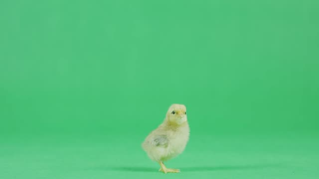 4k baby chicken on a green screen - young bird stock videos & royalty-free footage