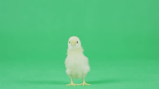 4k cu baby chicken on a green screen - young bird stock videos & royalty-free footage