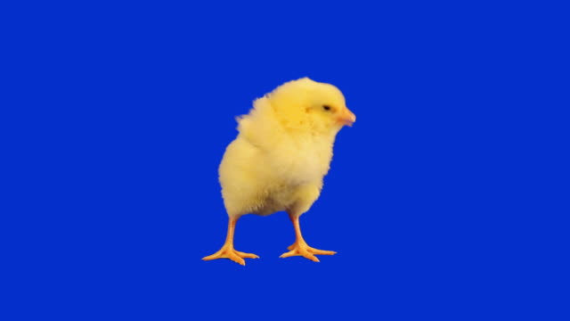stockvideo's en b-roll-footage met baby chicken with luma matte - geel