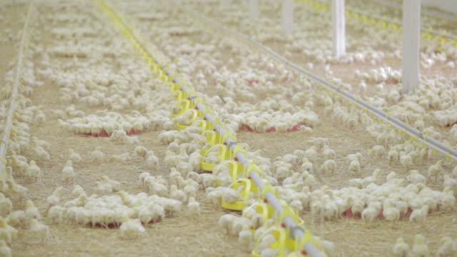 vídeos de stock e filmes b-roll de baby chickens at the farm - galinheiro