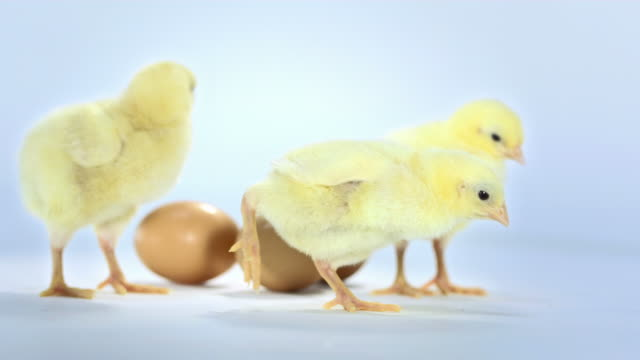 HD: Baby Chickens With Eggs