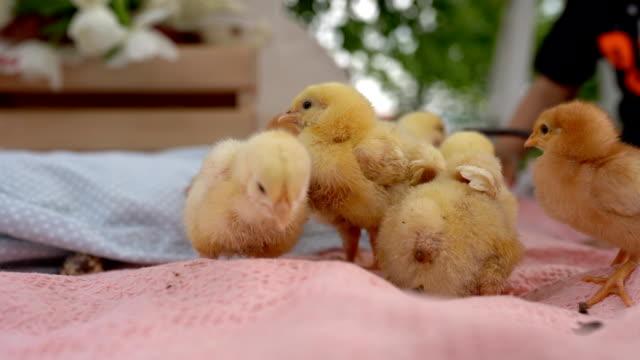 babyküken auf ostereiersuche - jungvogel stock-videos und b-roll-filmmaterial