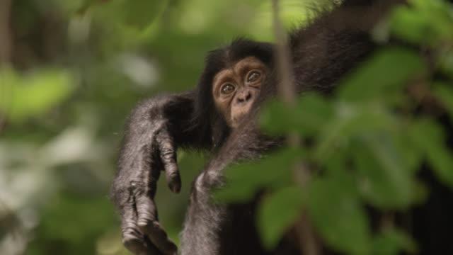 vidéos et rushes de baby chimpanzee (pan troglodytes) clings to adult in tree, senegal - chimpanzé