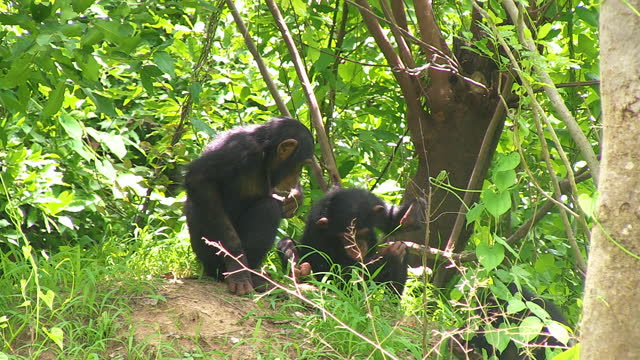 ms baby chimpanzee fishing for termites watched by juvenile - twig stock videos & royalty-free footage