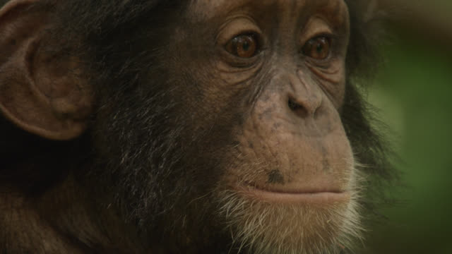 vidéos et rushes de baby chimpanzee (pan troglodytes) looks around in forest, senegal - chimpanzé