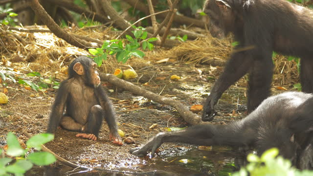 baby chimpanzee playing by pool then moving as adults walk through foreground - three animals stock videos & royalty-free footage