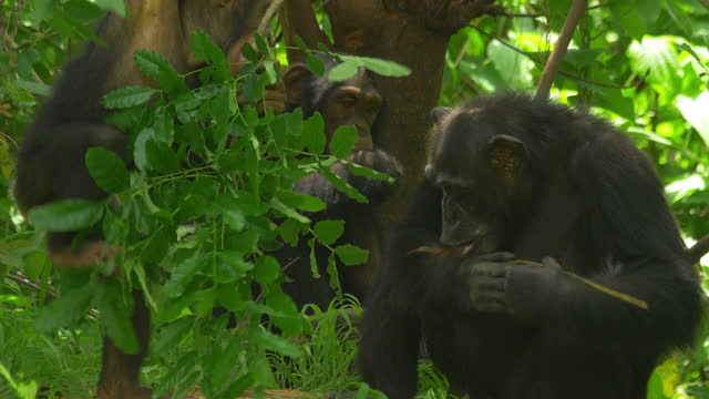 ms baby chimpanzee selecting twig for fishing termites with female in background - twig stock videos & royalty-free footage