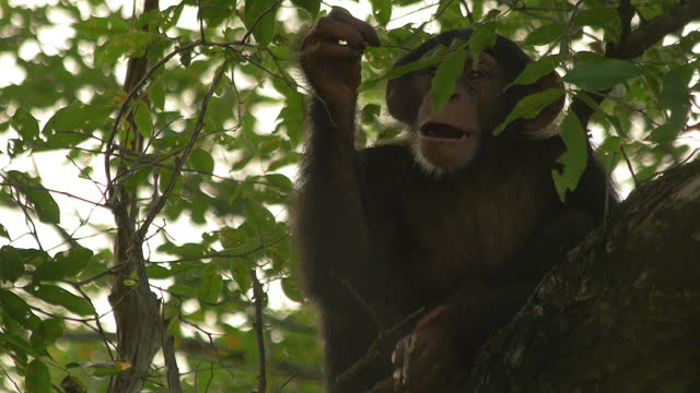 la cu baby chimpanzee sitting in tree eating meat and using twig as a toothpick - twig stock videos & royalty-free footage